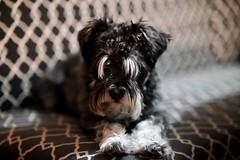 Obi Little (Explored) (uofmtiger) Tags: eyebrows dog schnauzer adorable cuteness cute