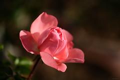 pink rose (Christine_S.) Tags: garden nature japan floralphotography macrophotography bokeh fujixt3 xf80mmf28 closeup mirrorless pinkflowers roses kurfürstendamm passionatekisses meillandsrosekurfürstendamm hybridtearose decemberrose ngc npc coth5 mygarden