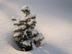 Tree Story (sampost) Tags: trees treestory forest understory fresh snow