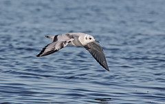 Bonaparte's Gull - 094A0253a3c1 (Sue Coastal Observer) Tags: bonapartesgull bogu chroicocephalusphiladelphia flight blackiespit surrey bc canada