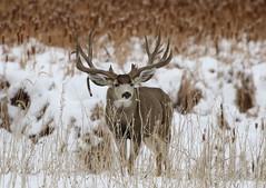 Massive, Drop Tine Mule Deer Buck (fethers1) Tags: rockymountainarsenalnwr rmanwr rmanwrwildlife coloradowildlife deer muledeer muledeerbuck