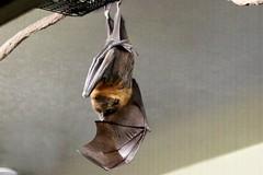 Rodrigues Fruit Bat (kimpossible pics) Tags: outdoors nature wildlife zoo park animalpark safaripark sandiegozoo sandiegozoosafaripark wildanimalpark sandiego escondido bats fruitbats rodriguesfruitbats