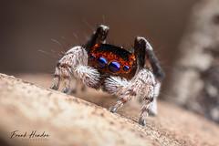 Maratus neptunus (F.Hendre) Tags: maratusneptunus peacockspider jumpingspider spider arachnid salticidae macro stack