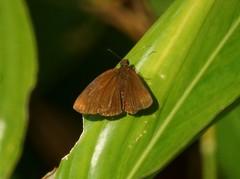 THE RICH BROWN COON - STIMULA SWINHOEI (nikolayloginov) Tags: stimulaswinhoei butterfly thailand бабочка таиланд