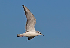 Bonaparte's Gull - 094A9553a1ac1 (Sue Coastal Observer) Tags: bonapartesgull bogu chroicocephalusphiladelphia flight blackiespit surrey bc canada
