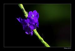 Purple flowers (VERODAR) Tags: flowers wildflower tropicalflower wildlife wildplant jungle junglefloor junglelife nature natureandwildlife nikon verodar veronicasridar