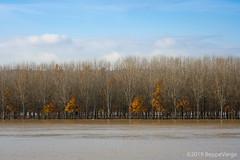 Esondazione fiume Tanaro [ Explored ] (beppeverge) Tags: alluvione beppeverge esondazione flood flooding italy landscape novembre pianurapadana pioppi poplars tanaro