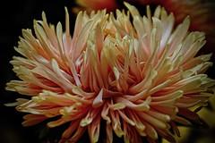 Dahlia (prokhorov.victor) Tags: цветок цветы растения флора сад цветение лето макро