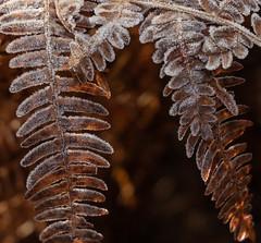 Frozen-8461 (alan.dphotos) Tags: autumn winter frost gorse bracken ice fog mist sunlight golden sparkle