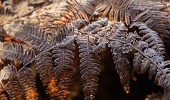 Frozen-8454 (alan.dphotos) Tags: autumn winter frost gorse bracken ice fog mist sunlight golden sparkle