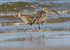 Whimbrel and Curlew (Wild Chroma) Tags: numenius phaeopus numeniusphaeopus whimbrel birds nonpasserines qurum oman muscat arquata numeniusarquata