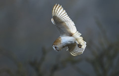 Barn Owl - Hunting in the mist (Ann and Chris) Tags: barnowl owl mist misty hazy sunshine stunning ghostly eerie diving white hovering amazing beautiful close gorgeous impressive unusual wings
