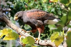 Harris's Hawk (kimpossible pics) Tags: outdoors nature wildlife zoo park animalpark safaripark sandiegozoo sandiegozoosafaripark wildanimalpark sandiego escondido birds hawks birdofprey raptors harrishawk