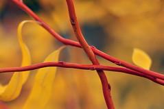Golden Curls Corkscrew Willow in Autumn (Salix Matsudana Golden Curls) (natureloving) Tags: goldencurlscorkscrewwillow corkscrewwillow pekingwillow salixmatsudana nature curlywillow salixgoldencurls macro autumn branch natureloving nikon d90 afsvrmicronikkor105mmf28gifed