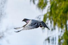 Pigeon_4931-1 (Luc Barré) Tags: oiseau oiseaux pigeon pigeons vol parc pau beaumont pyrénées