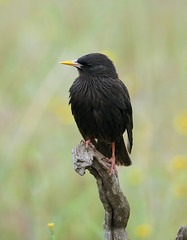 Spotless Starling --- Sturnus unicolor (creaturesnapper) Tags: monfraguenationalpark spain europe extremadura birds starlings spotlessstarling sturnusunicolor