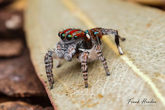 Maratus volans (F.Hendre) Tags: maratusvolans peacockspider jumpingspider spider arachnid salticidae macro stack