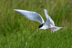 Kría - Arctic Tern - Sterna paradisaea (oskar.sigurmundason) Tags: kría arctic tern sterna paradisaea bird birds mational geographic ngc iceland island nikon d500 sigma