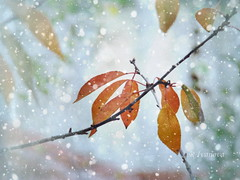 It will be Winter soon (R_Ivanova) Tags: nature season winter outdoor branch leaf leaves snow colors color cold textured sony rivanova риванова зима природа сезони клони листа сняг текстура цветно fav20
