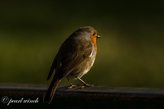 Beautiful robin (pearl.winch) Tags: 13thnovember2019 rhshydehall 9172 beautifulrobin coth alittlebeauty coth5