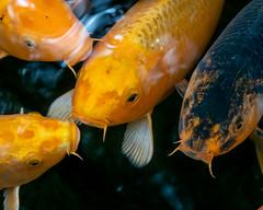 Cyprinus carpio (shinichiro*) Tags: 新座市 埼玉県 日本 20191127dsc00048 2019 crazyshin sonydscrx10m4 november autumn 平林寺 niiza saitama japan jp carp 鯉 fish candidate 49150785477