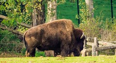 #Bison - 7789 (✵ΨᗩSᗰIᘉᗴ HᗴᘉS✵84 000 000 THXS) Tags: animal bison pairidaiza nature green sony sonydscrx10m4 belgium europa aaa namuroise look photo friends be yasminehens interest eu fr party greatphotographers lanamuroise flickering