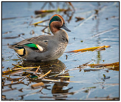 Teal (steve.gombocz) Tags: bird nikon nikonfx nikkor nikoncamera nikond850 nikon500mmf4 avian uccello oiseau vogel ave pajaro flickraddicts birdphotos birdphotograph birdphotography water outdoor animal outandabout nature wildlife wildlifereserve naturereserve wildlifephotos naturephotos wildlifephotography wildlifephotograph naturephotography wildlifepictures naturepictures bbcspringwatch tier animale flickrwildlife flickrnature birds ukbird teal birdwatch birdwatcher birdwatching naturewildlife flickrbirds birdpictures colour colours color digital light ngc