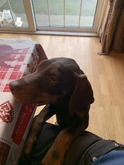 Red Doberman Pinscher Puppy Kaiser - Where's My Breakfast? (firehouse.ie) Tags: tan brown red kaiser puppies puppys puppy pups pup dobermann doberman dobies dobie dobeys dobey dobes dobe