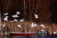 Time of the egrets (Patricia Buddelflink) Tags: bird egret lake nature