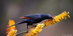 Red-winged Starling, male (leendert3) Tags: leonmolenaar southafrica krugernationalpark wildlife wilderness wildanimal nature naturereserve naturalhabitat bird redwingedstarling ngc
