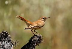 Rufous-tailed Scrub-robin --- Cercotrichas galactotes (creaturesnapper) Tags: monfraguenationalpark spain europe extremadura birds rufoustailedscrubrobin cercotrichasgalactotes