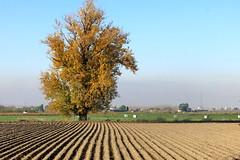 Arbol y campo rayado (Micheo) Tags: spain vegadegranada campos arado ploughed campodeajos surcos furrow fields cosehcha harvest ground orden lineal geomettría