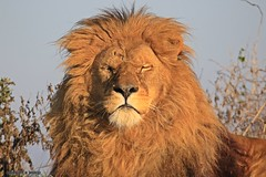 I am King J78A1385 (M0JRA) Tags: wildlife parks doncaster people visitors animals lions tigers cats keepers