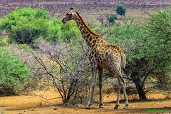 Giraffe (Johann (Still Me!)) Tags: giraffe kameelperd pilanesberg johanndejager canonpowershotsx60hs