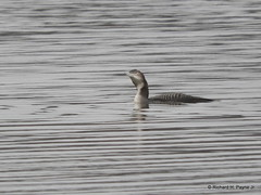Common Loon_N0610 (Henryr10) Tags: eastforklake eastforkstatepark bethelohio littlemiamiriverbasin usa williamhharshalake southbeach commonloon loon gavia gaviaimmer avian bird vogel ibon oiseau pasare fågel uccello tékklistar colo