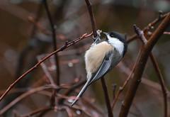 hanging on  explored 01/12/2019 (phbyo) Tags: chickadee