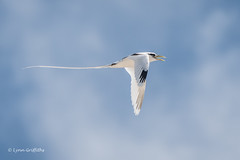 White-tailed Tropicbird 501_8482.jpg (Mobile Lynn) Tags: birds seabirds inflight whitetailedtropicbird nature bird coast coastal fauna flight flying phaethonlepturus sea seabird shorebird shorebirds wildlife seychelles specanimal coth coth5