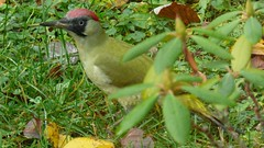 Grünspecht / Green Woodpecker (ursula.valtiner) Tags: natur nature vogel bird grünspecht greenwoodpecker picusviridis garten garden flatz niederösterreich loweraustria austria autriche österreich