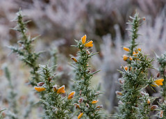 Frozen-8373 (alan.dphotos) Tags: autumn winter frost gorse bracken ice fog mist sunlight golden sparkle