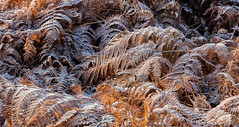 Frozen Chaos-8413 (alan.dphotos) Tags: autumn winter frost gorse bracken ice fog mist sunlight golden sparkle
