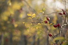 Gratte-culs (Titole) Tags: cynorhodon titole grattecul shallowdof red fruit wild nicolefaton rosehip églantine bokeh