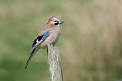 Jay (redmanian) Tags: jay bird ianredman