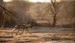 Wild Dog at Sunrise (Alastair Marsh Photography) Tags: dog dogs africanwilddog wilddog wilddogs painteddogs africanpainteddog painteddog africanwilddogs africanpainteddogs africa nature animal animals safari naturereserve namibia africanwildlife africanmammals erindi africanmammal paintedwolf paintedwolves erindigamereserve animalsintheirlandscape sun sunlight sunshine sunrise wildlife