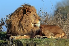 J78A1387 (M0JRA) Tags: wildlife parks doncaster people visitors animals lions tigers cats keepers