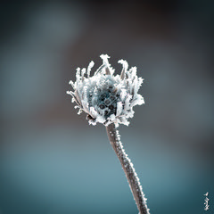 Ice flover ... (N.Batkhurel) Tags: season winter snow ice flower flora closeup mongolia macro ngc nikon nikond5200 nikkor natur nikkor105mm