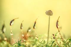 Vers la lumière (Piotr Jaworski) Tags: vers la lumière macro makro grzybki mech mousse krople gouttes drops jesien autumn automne olympus omd em10ii mzuiko 6028 natural light lumiere naturelle naturalne swiatlo pitrus piotr 44 loireatlantique champignons mushrooms