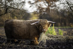 Galloway (Deepmike70) Tags: outdoors livestock galloway cattle nature cow mammal brown field