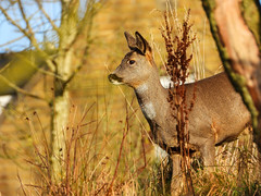 Roe Deer (Explored- 2nd Dec 2019) (Pendlelives) Tags: roe deer ball grove park laneshawbridge laneshaw bridge warm special nature wildlife countryside pendle pendlelives nikon p1000 clarity vibrant vibrance background animals colours colour color uk british species