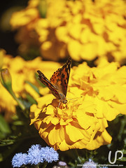 Butterfly (Unknown-Photographer) Tags: stpetersburg saintpetersburg saint petersburg unknownphotographeroutlookcom sony cameraphotography sonya200 photo photography up flower nature flowers garden bokeh green dof depth field yellow blue macrophotography flowerphoto plant daylight color group texture bloom multicolor orange pink magenta daisy butterfly lepidoptera order insect cosmos bipinnatus cosmea angiosperms asteraceae