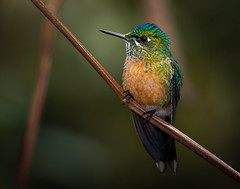 Violet-tailed sylph (female) (Eric Gofreed) Tags: aglaiocercuscoelestis ecuador guangolodge hummingbird violettailedsylph